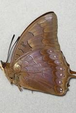 Charaxes latona papuensis M A1 PNG