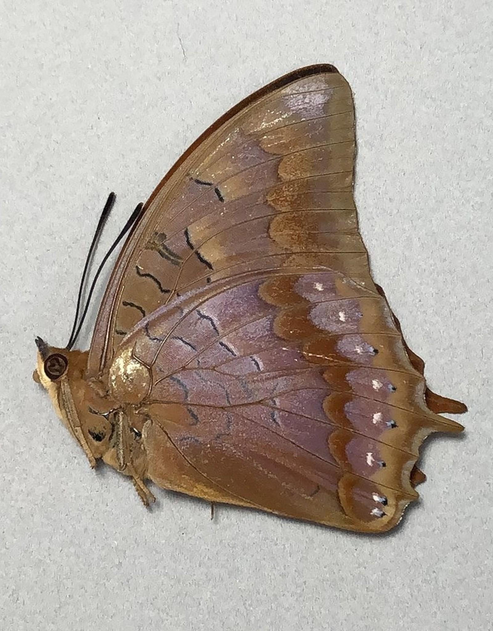 Charaxes latona papuensis M A1- PNG
