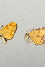 Phyciodes pulchella PAIR A1 Canada