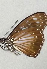 Hestina dissimilis M A1 Philippines