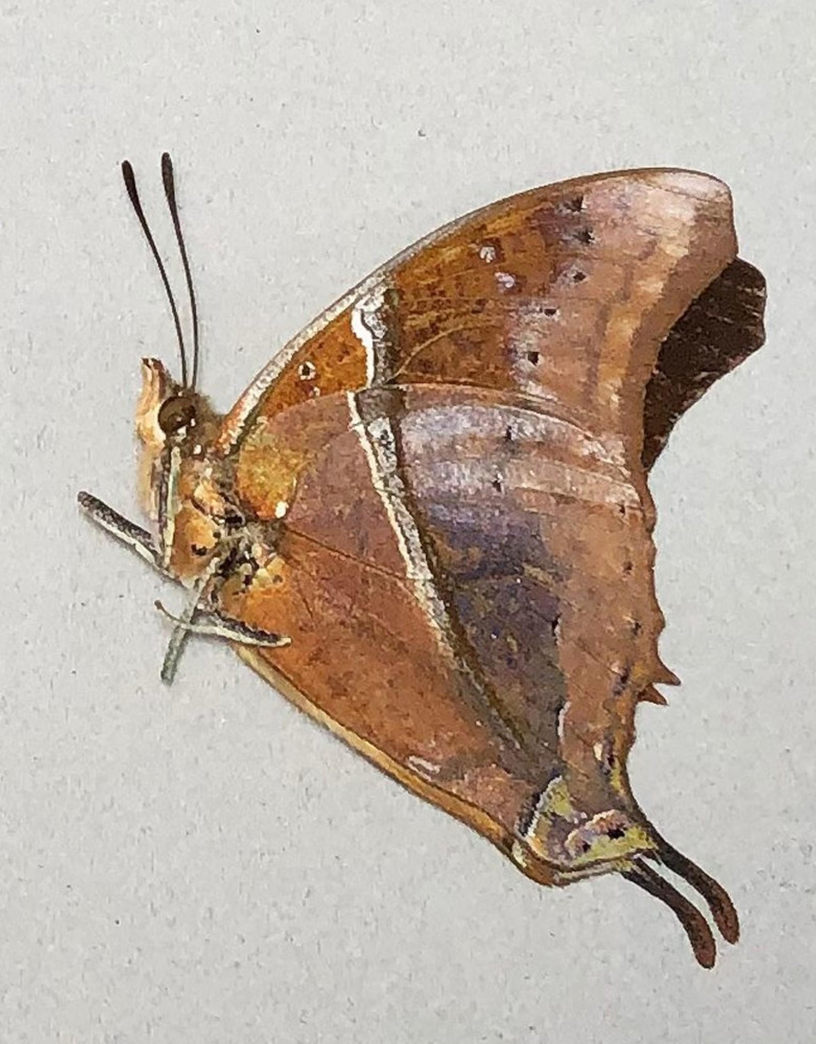 Charaxes betanimena M A1 Madagascar