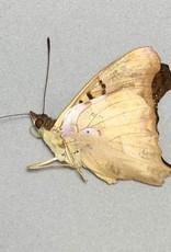 Doxocopa seraphina M A1 Argentina