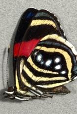 Callicore hesperis M A1/A1- Bolivia