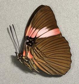Adelpha lara lara M A1/A1- Peru