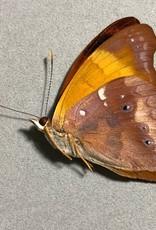 Temenis laothoe meridionalis M A1 Peru