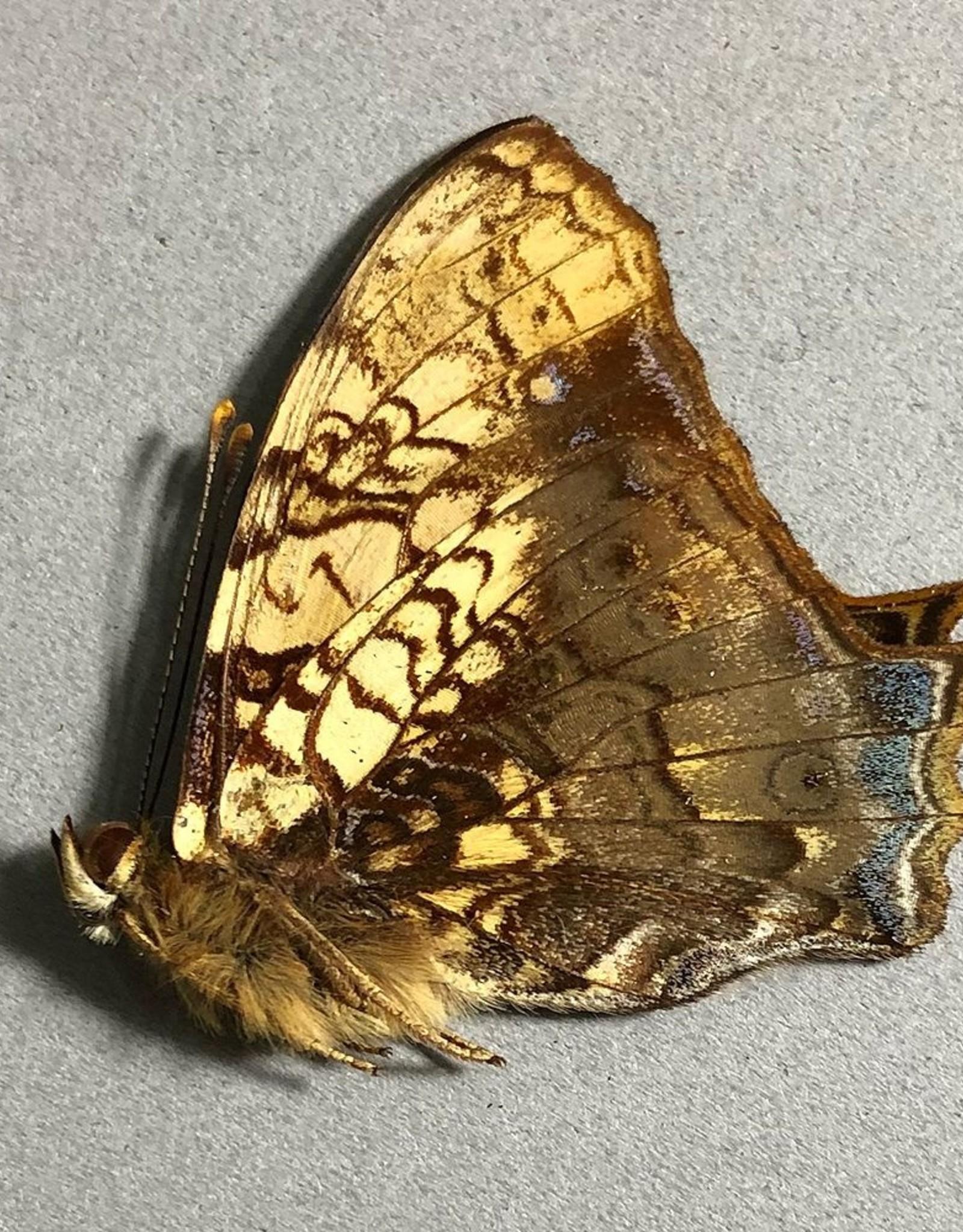 Hypanartia lethe lethe M A1 Peru