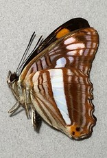 Adelpha thessalia M A1 Peru