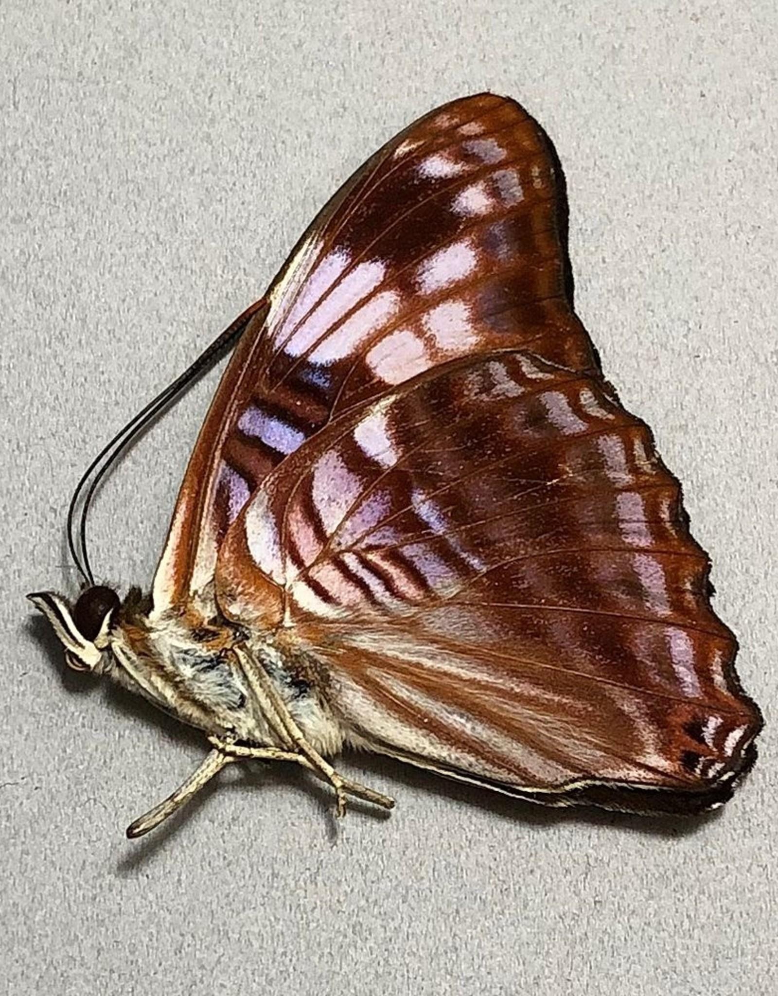 Adelpha ximena M A1 Peru