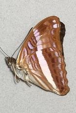 Adelpha cocala cocala M A1 Peru
