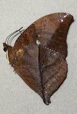 Anaea (Zaretis) itys itys M A1/A1- Peru