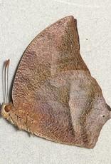 Fountainea (=Anaea) ryphea ryphea M A1 Peru