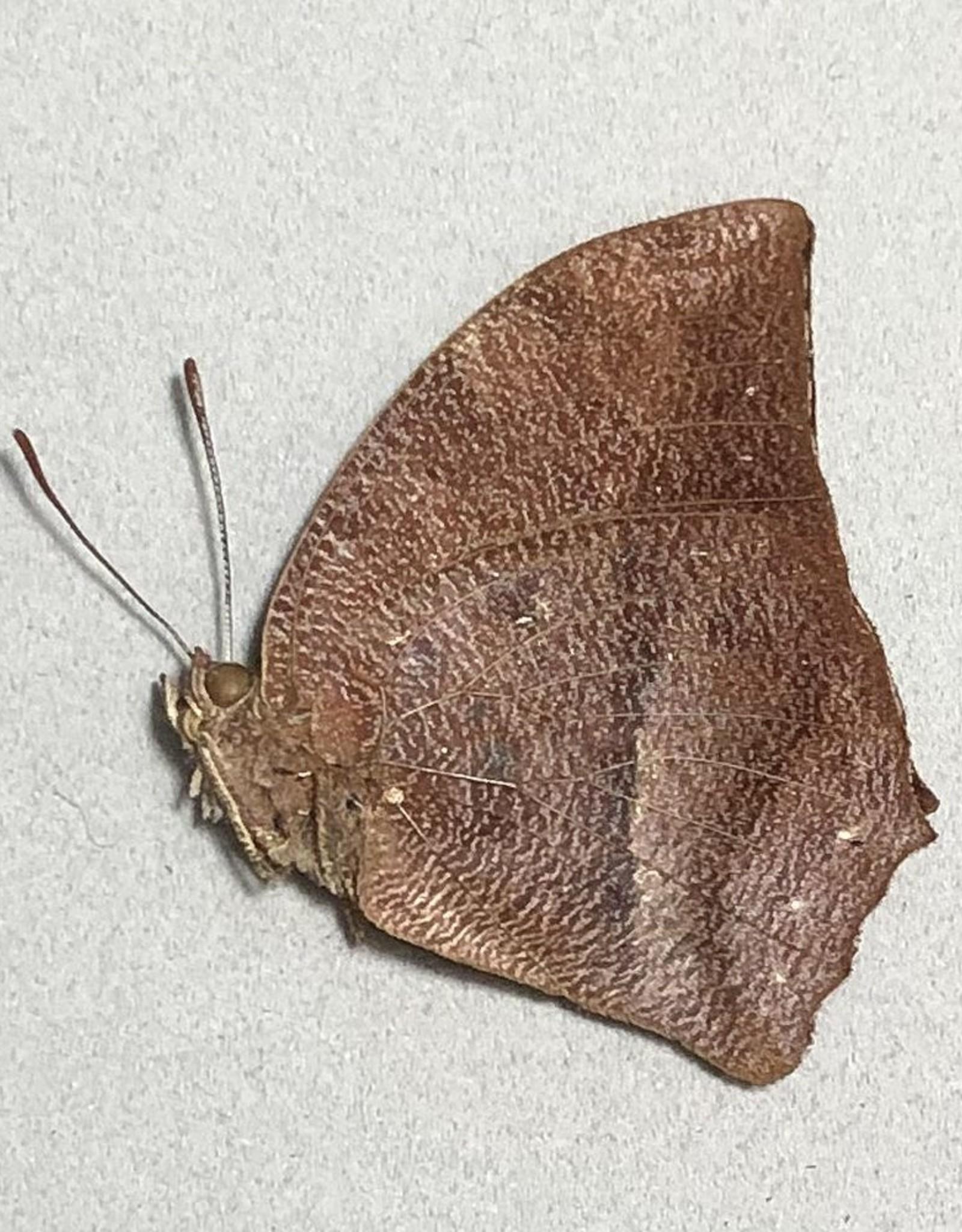 Fountainea sosippus M A1- Peru