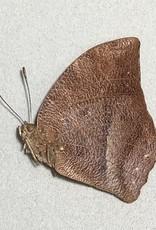 Fountainea sosippus M A1 Peru