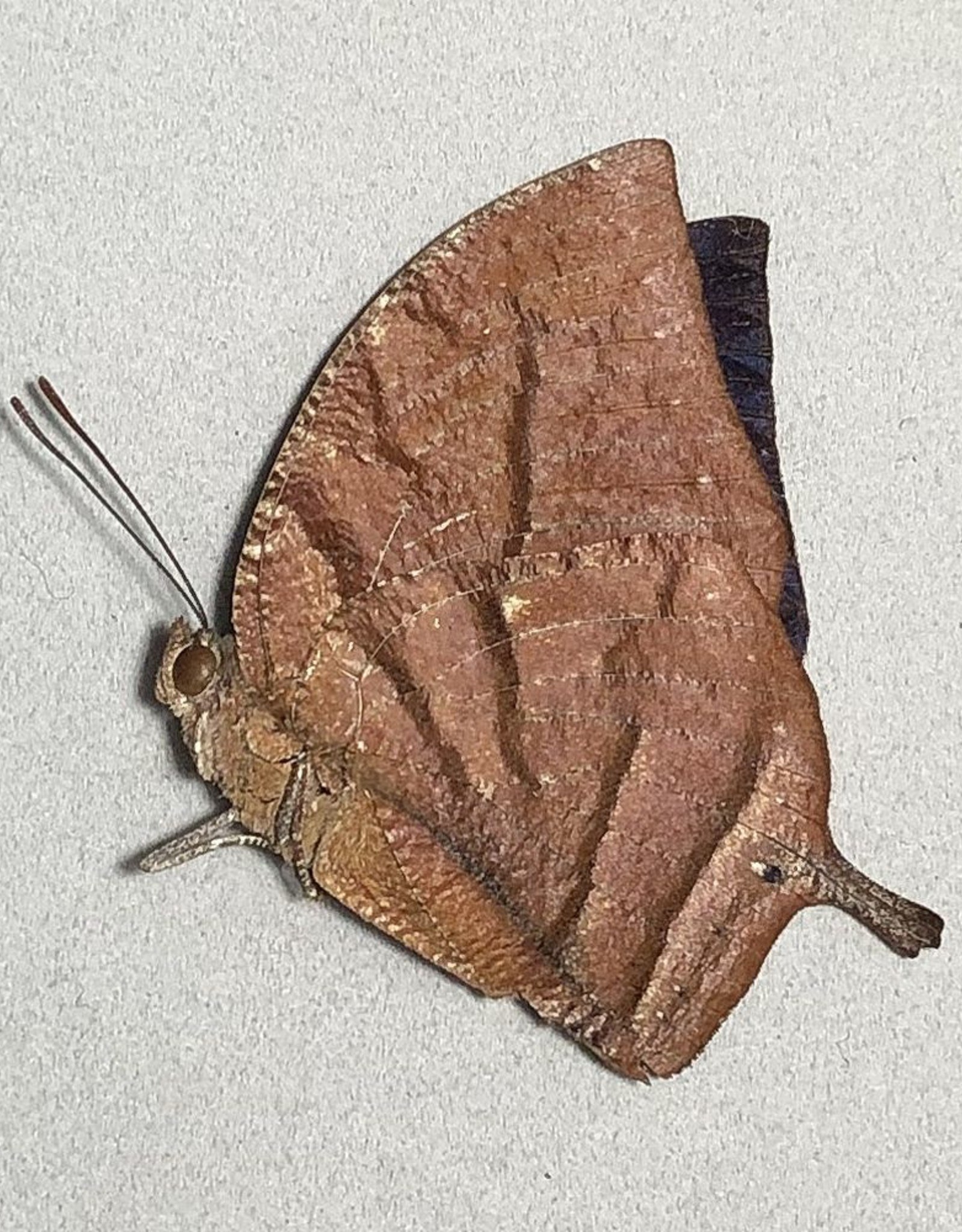 Memphis (=Anaea) philomena philomena M A1/A1- Peru