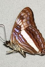 Adelpha aethalia M A1 Peru