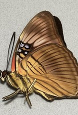 Adelpha mesentina M A1 Peru