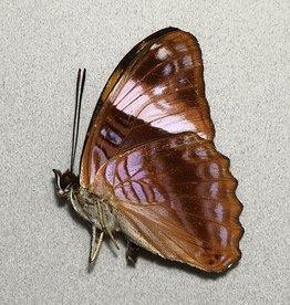Adelpha boreas boreas M A1 Peru