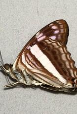 Adelpha delvita M A1 Peru