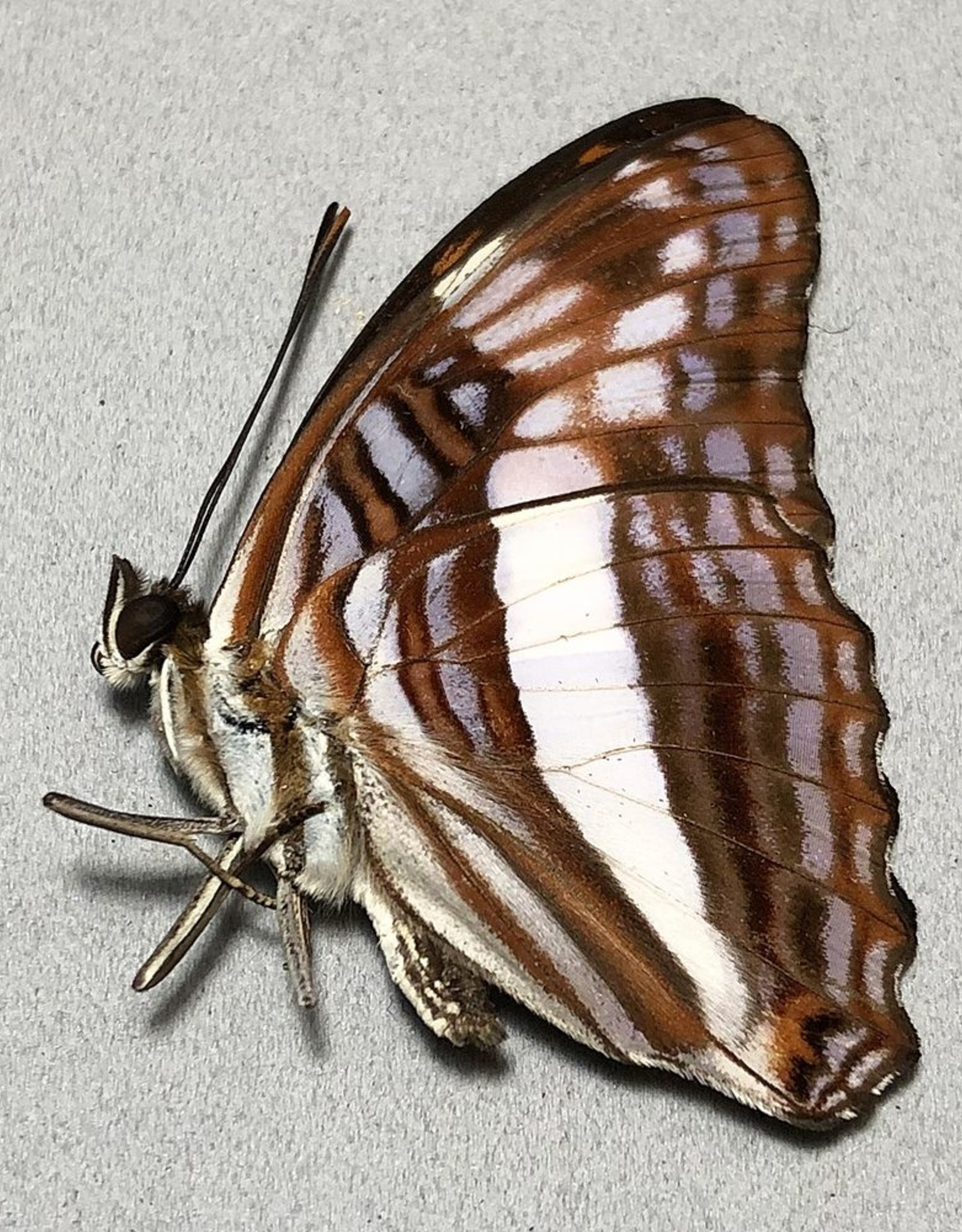 Adelpha ixia f. fundania M A1 Peru