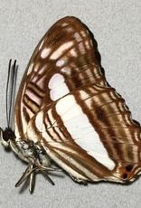 Adelpha iphiclus iphiclus M A1 Peru