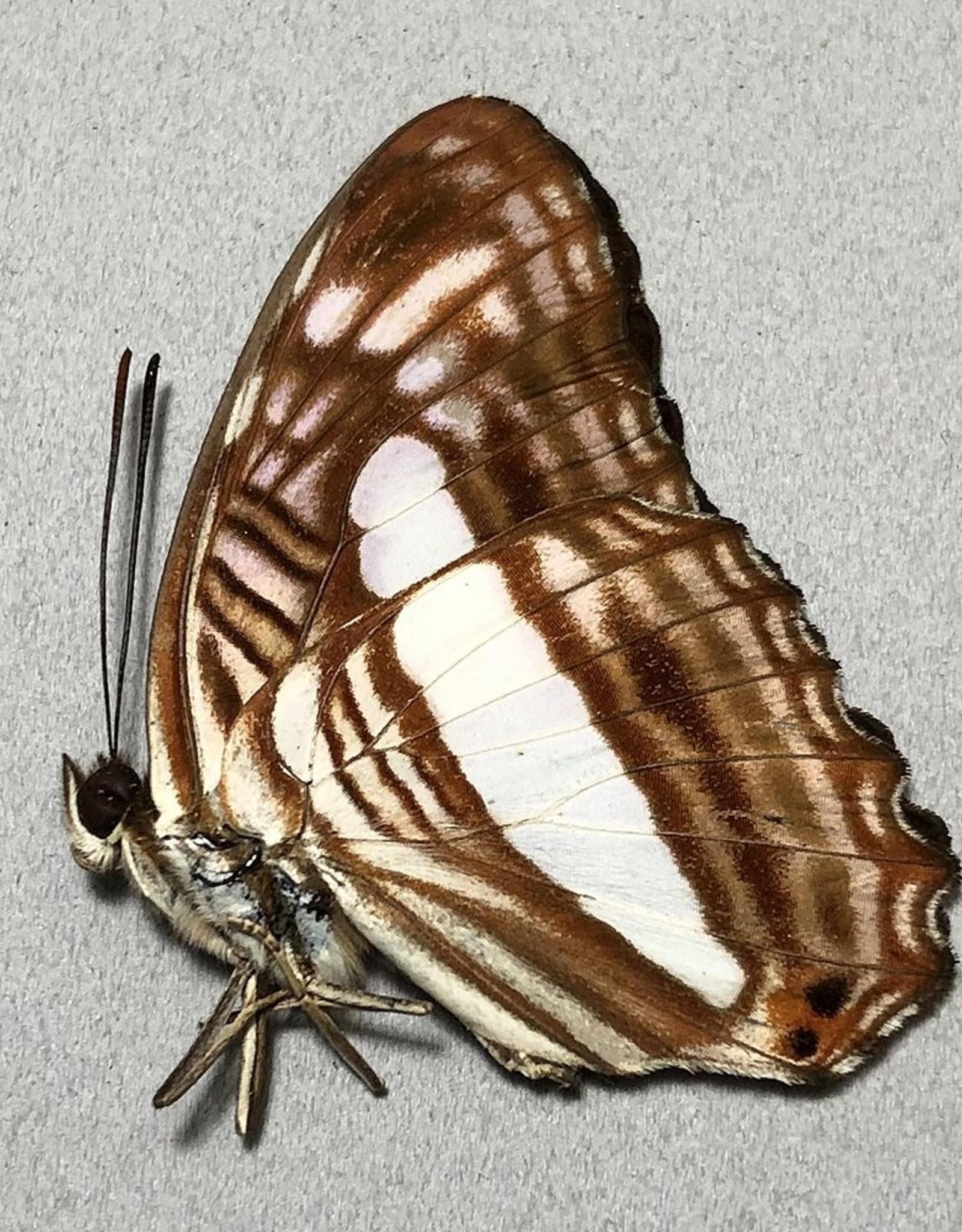 Adelpha iphiclus iphiclus M A1- Peru