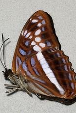 Adelpha sichaeus M A1 Peru