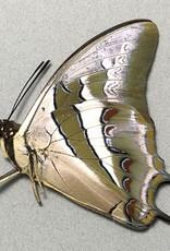 Polyura schreiber bilarensis M A1 Philippines