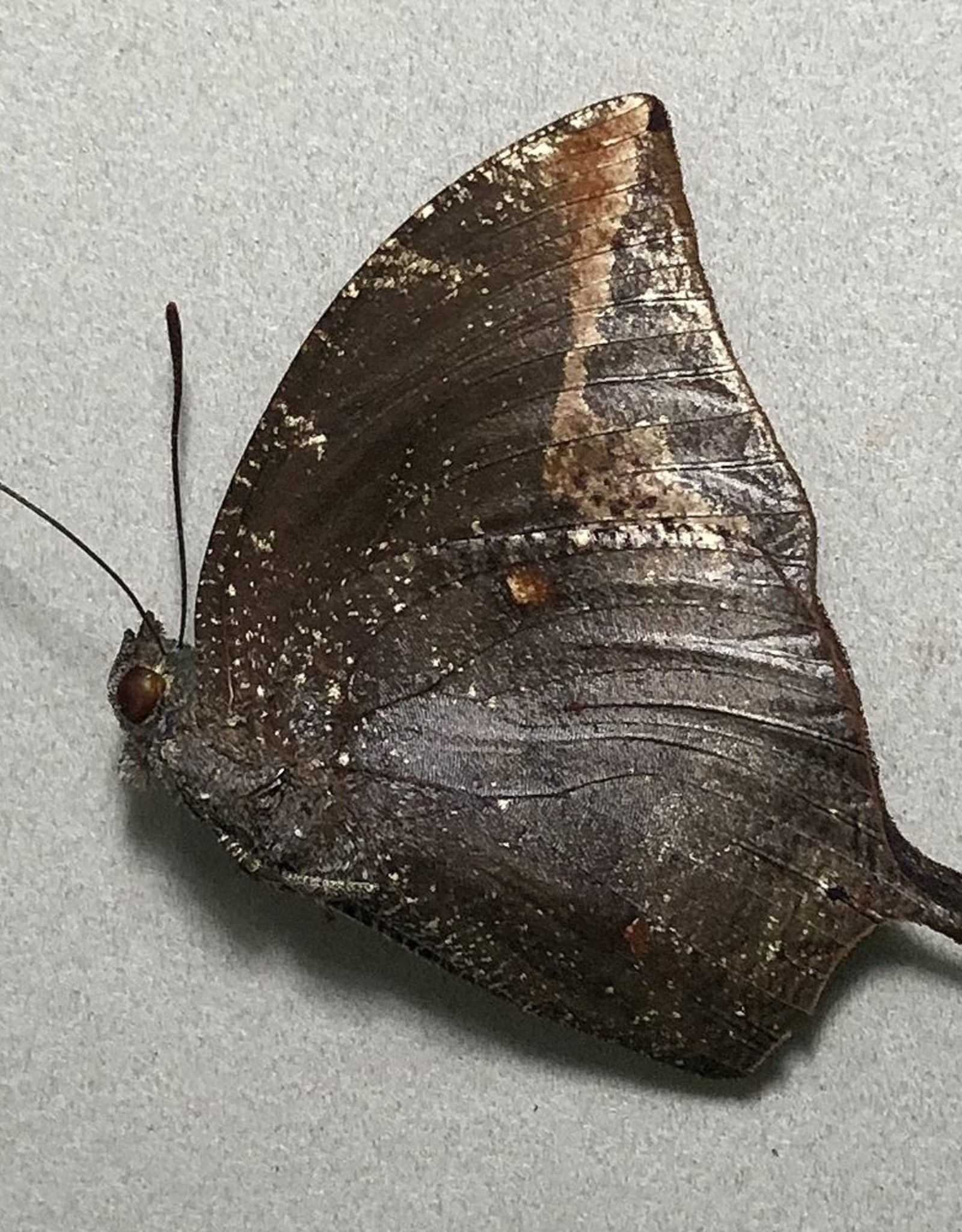 Memphis arachne psammis M A1- UHV, Peru