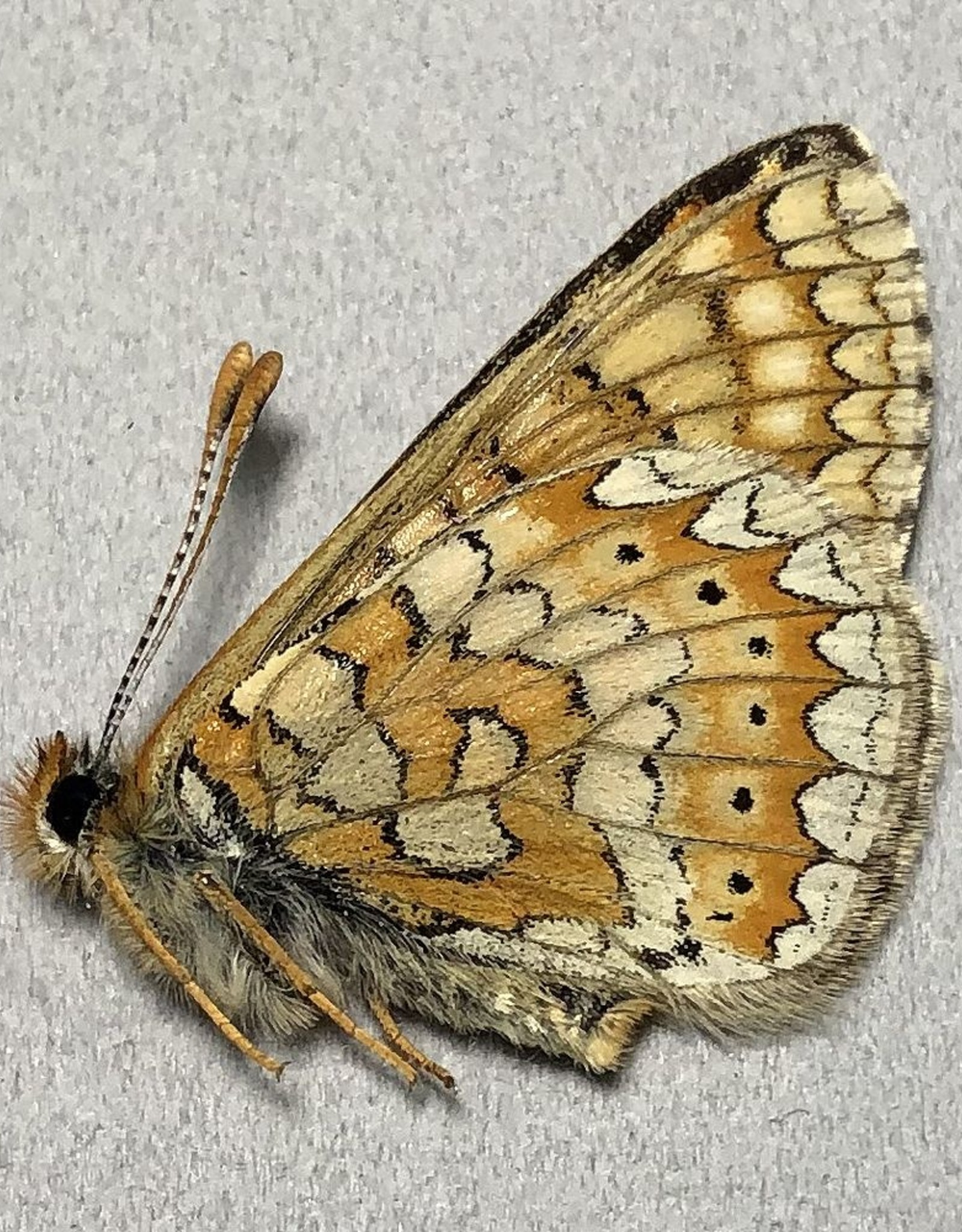 Euphydryas aurinia P A1 Armenia