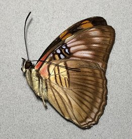 Adelpha mesentina mesentina M A1 Peru