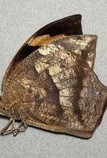 Anaea glycerium M A1 Ecuador