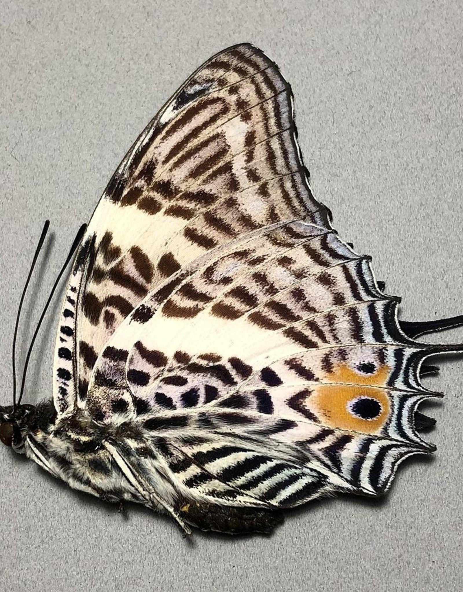 Baeotus (Megistanis) baeotus M A1 Peru