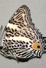 Baeotus (Megistanis) baeotus M A1 Bolivia