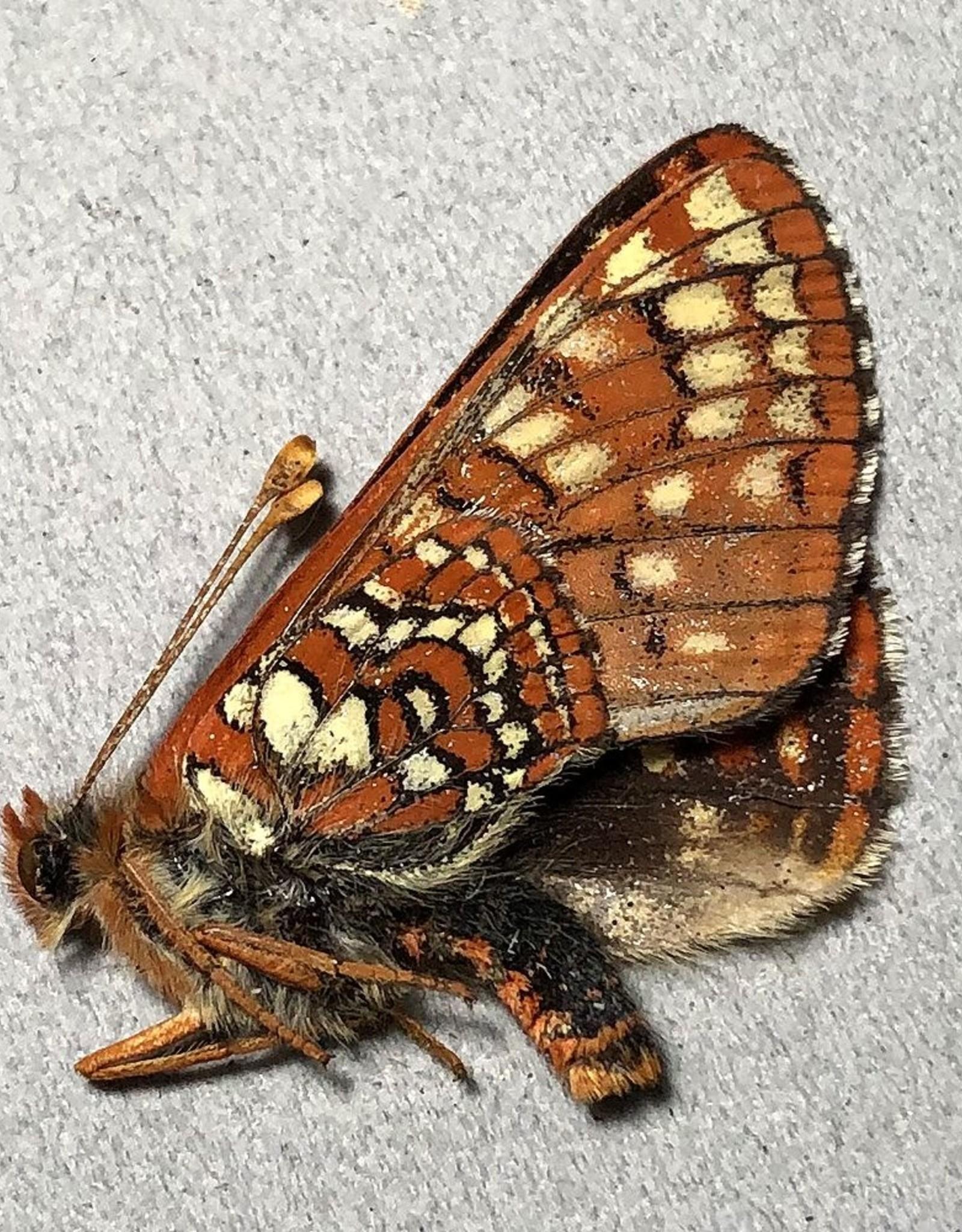 Euphydryas editha hutchinsi M A1 Canada