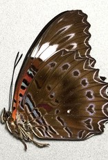 Cethosia chrysippe M A1 PNG
