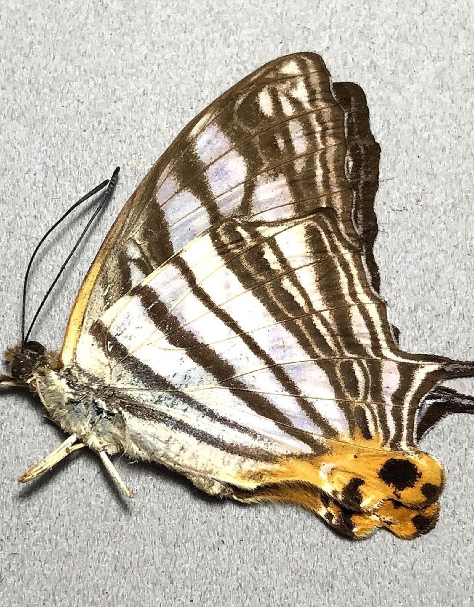 Cyrestis maenalis M A1 Philippines