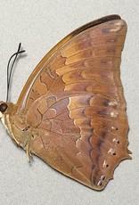 Charaxes aristogiton M A1/A1- Thailand