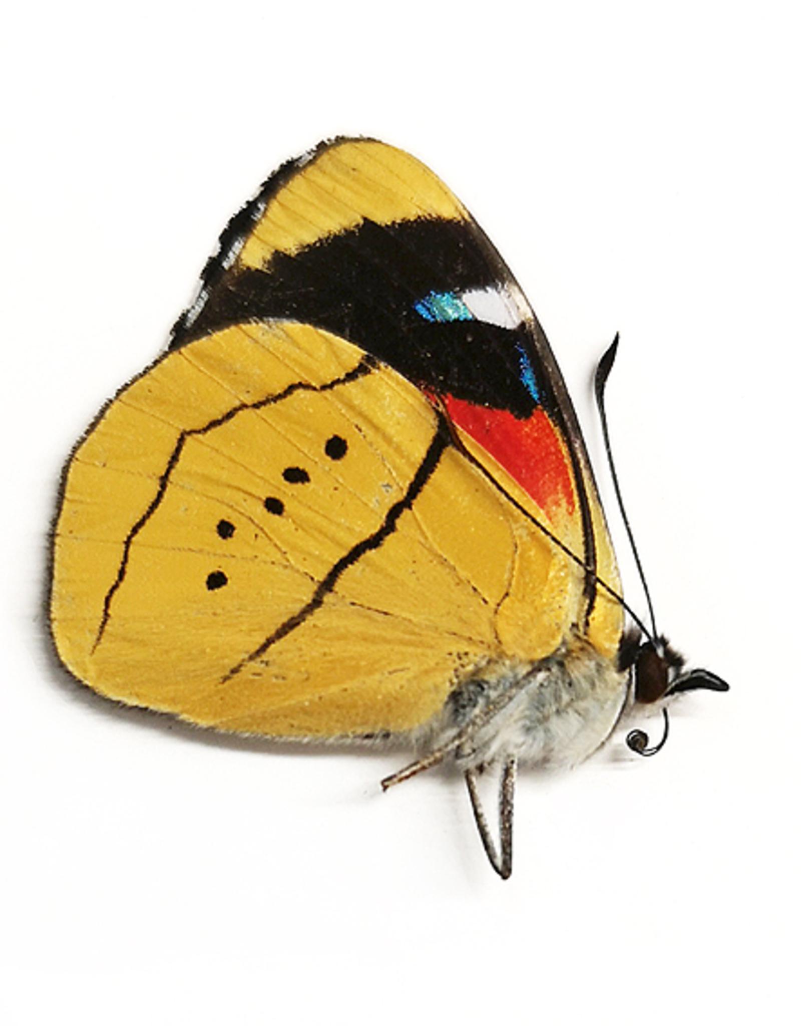 Perisama alicia alicia f. lucrezioides M A1 Peru