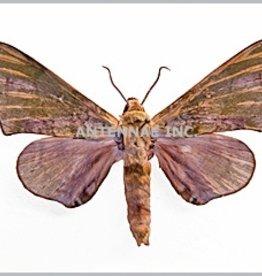 Chloroclanis virenscens virenscens M A1 Cameroon