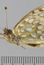 Speyeria mormonia eurynome PAIR A1- Canada