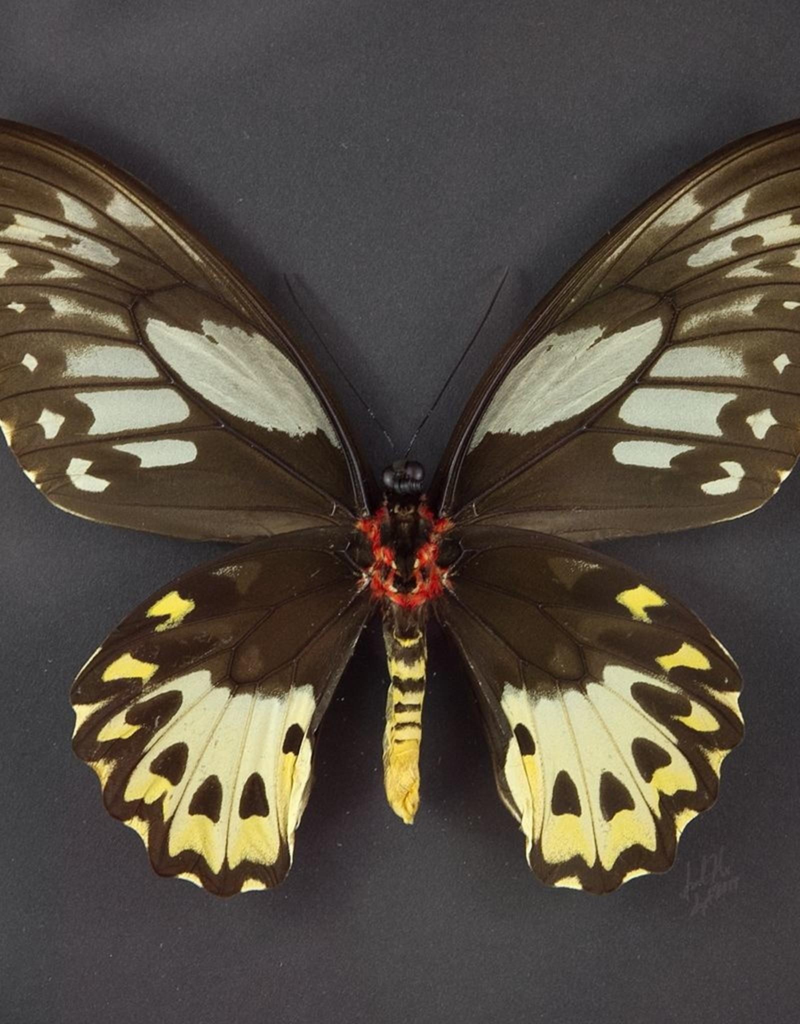 Ornithoptera priamus poseidon PAIR A1 Arfak, Irian Jaya, Indonesia