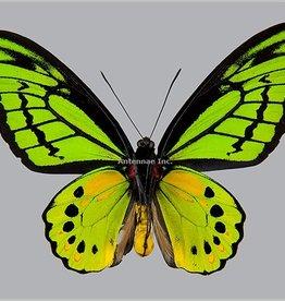 Ornithoptera akakeae akakeae M A1- Indonesia SPREAD SPECIMEN