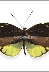 Dismorphia nemesis M A1 Bolivia