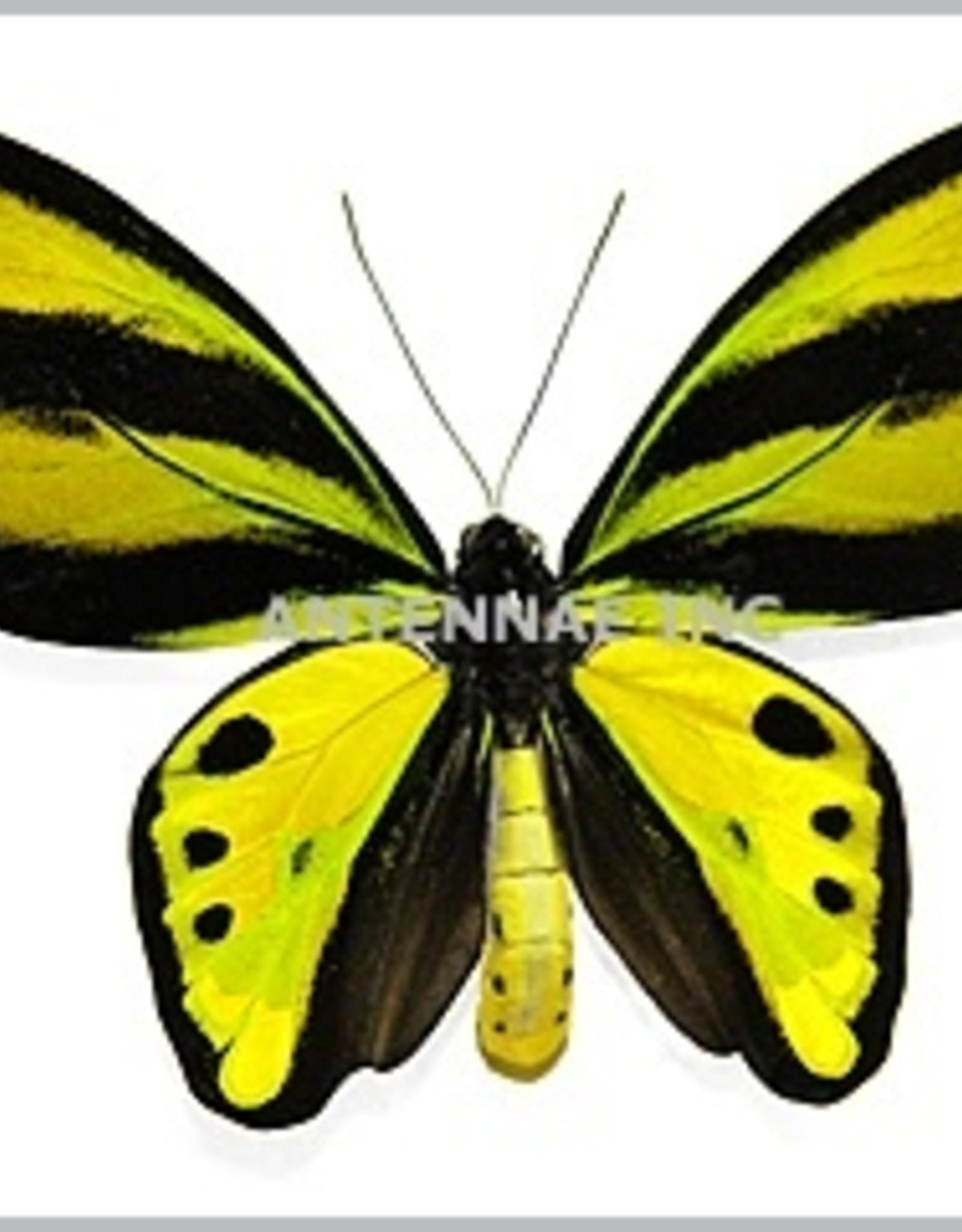 Ornithoptera tithonus tithonus PAIR A1 Indonesia
