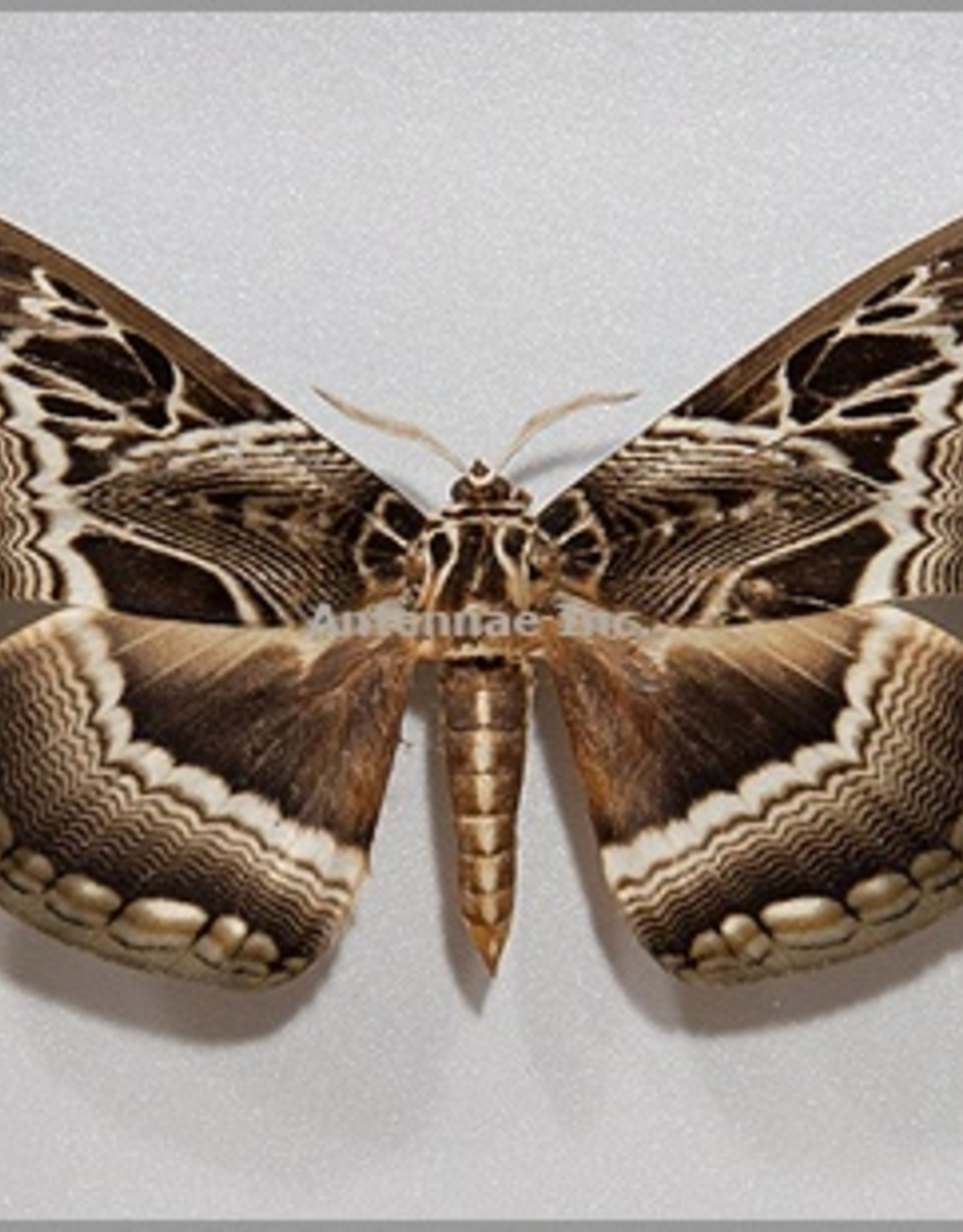 Dactylocerus lucina M A1 Cameroon