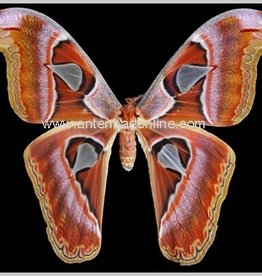 Attacus lorquini F A1 Phillipines