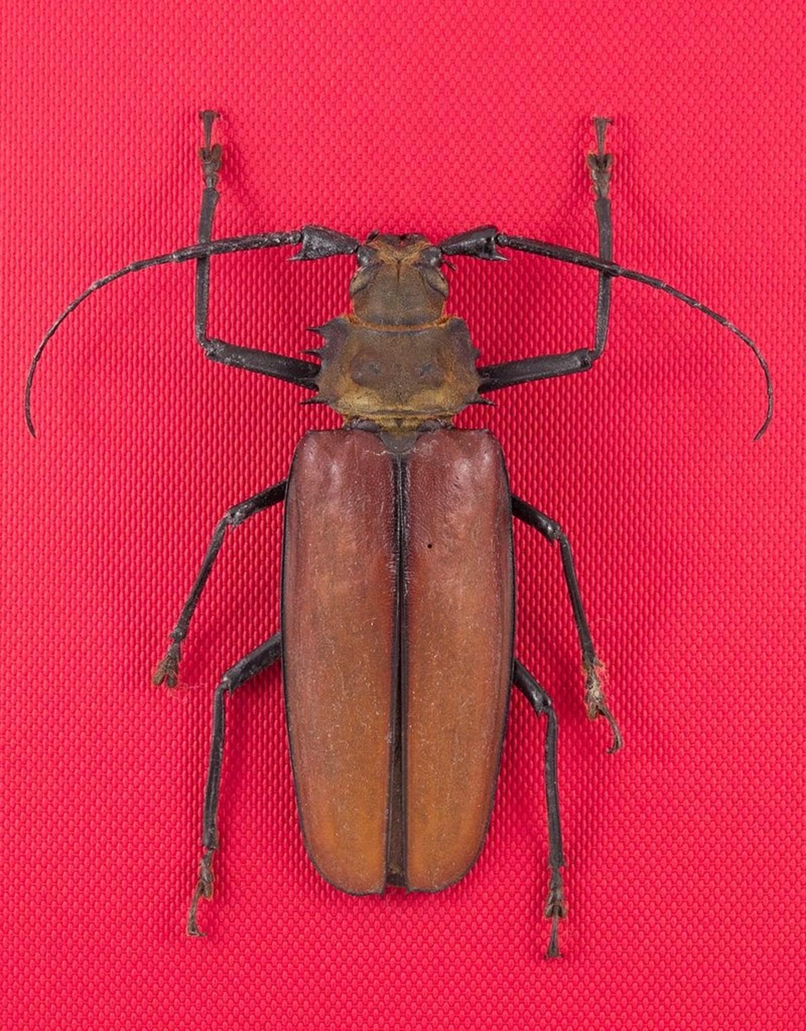 Callipogon (Enopluceros) armillatus M A1 Peru 9.5 cm