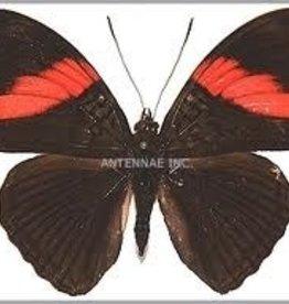 Adelpha lara lara M A1 Peru