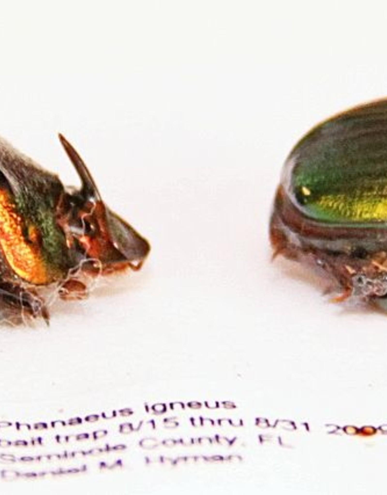 Phanaeus igneus PAIR A1 USA 1.3-1.5 cm