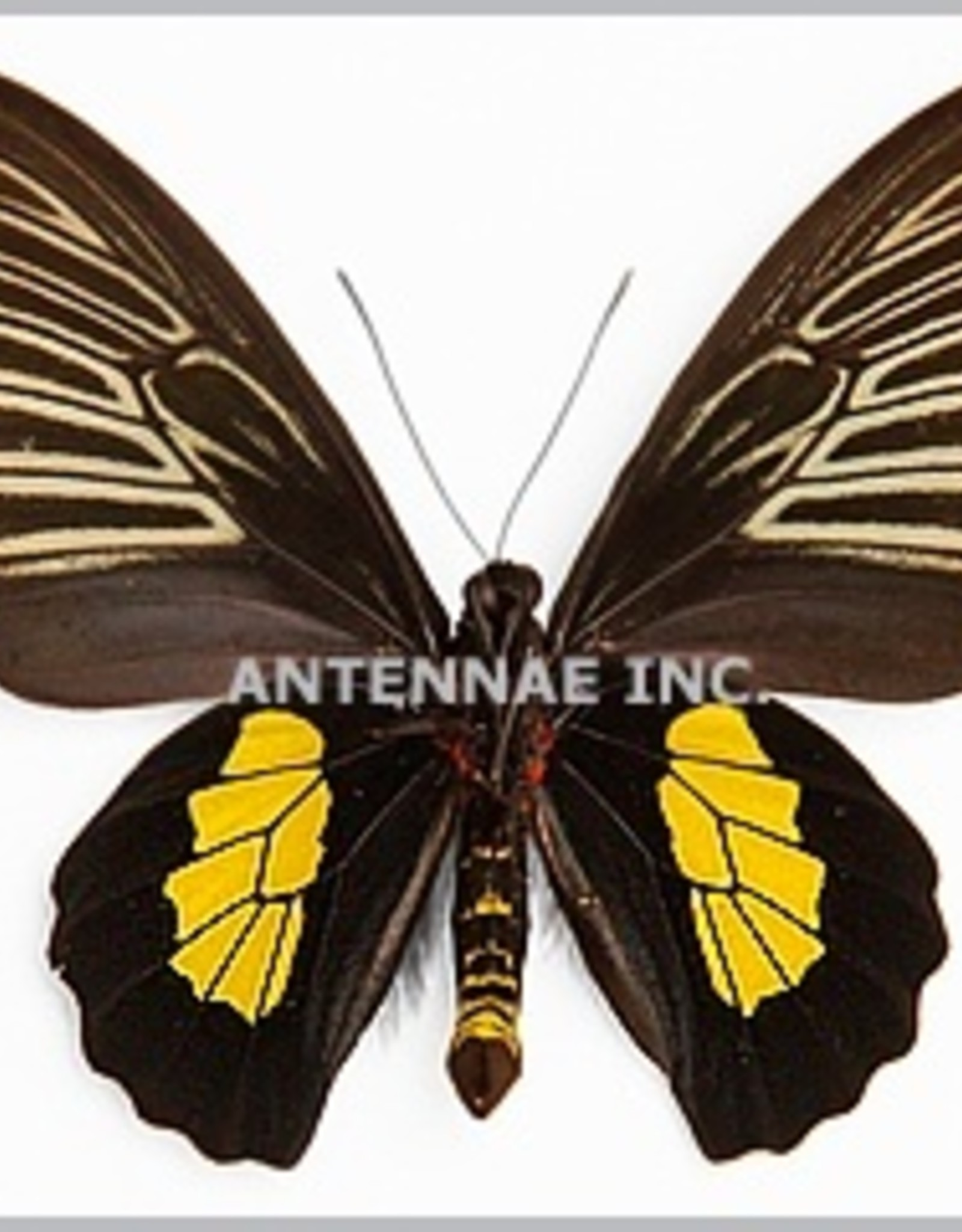 Troides haliphron pallens M A1 Indonesia